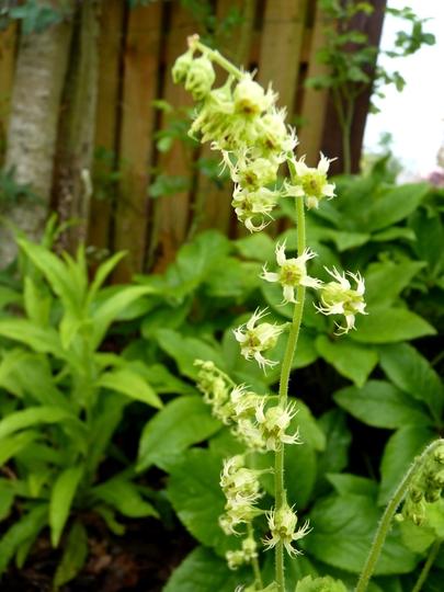 Tellima Grandiflora flower (Tellima grandiflora (Fringe cups))