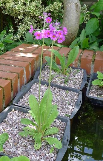 Primula pulverulenta - 2012 (Primula pulverulenta)