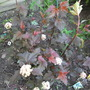 For my records Physocarpus &#x27;Lady in Red&#x27; (Physocarpus &#x27;Lady in Red&#x27;)