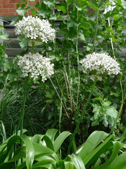 Allium nigrum - 2012 (Allium nigrum)