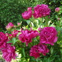 Peony double flowering Re Paeonia (Rubra Plena Peony) rather battered  (Paeonia officinalis ( Rubra Plena Peony ))