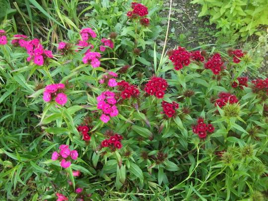 Dianthus Sweet William 'Summer Sundae' (Dianthus barbatus (Sweet William))