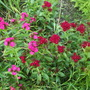 Dianthus Sweet William 'Summer Sundae' (Dianthus barbatus (Sweet William))