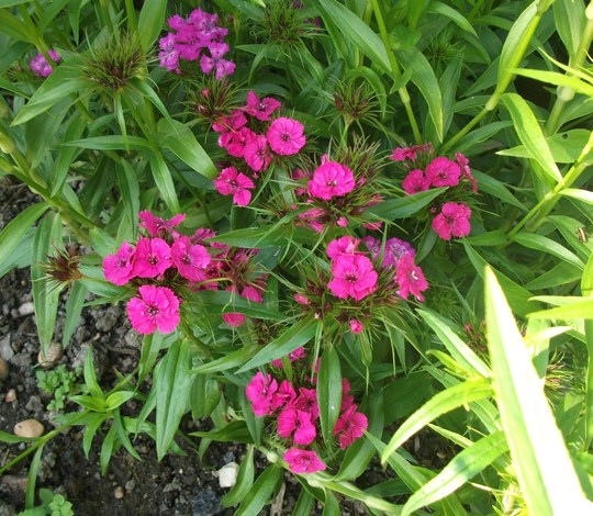 Dianthus Sweet William Summer Sundae (Dianthus barbatus (Sweet William))
