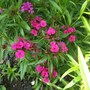 Dianthus Sweet William Summer Sundae (Dianthus barbatus (Sweet William))