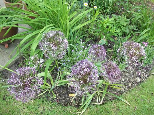 Allium Christophii  (Allium Christophii)