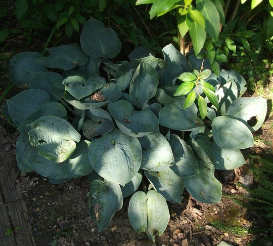 Hosta Bressingham Blue (Hosta Bressingham Blue)