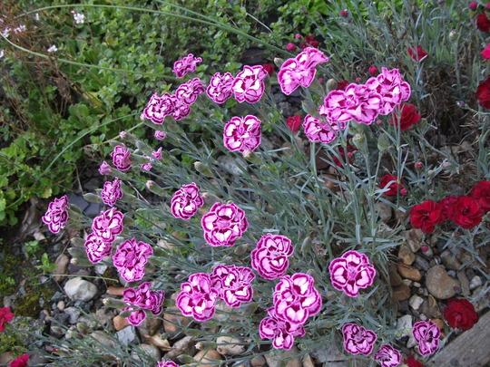 Dianthus Odessa Purple (Dianthus)
