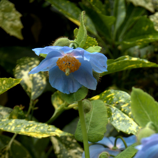 Meconopsis betonicifolia (Meconopsis betonicifolia (Himalayan blue poppy))