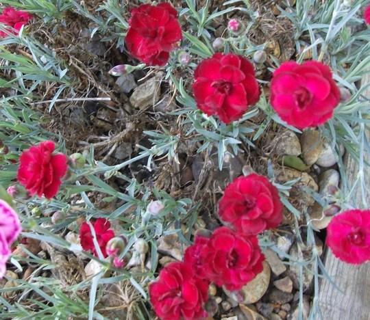 Dianthus Odessa Red (Dianthus)