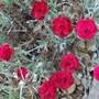 Dianthus_odessa_red