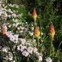 Kniphofia_red_hot_poker
