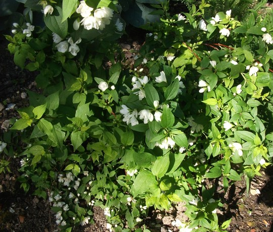 "Philadelphus 'Manteau d'Hermine' ( Mock Orange) slow-growing, dwarf produces a multitude of twiggy branches covered in tiny, fragrant cream-white flowers"" (Philadelphus 'Manteau d'Hermine')"