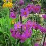 Primula 'bulleyana' (yellow) & Primula 'beesiana' (purple)