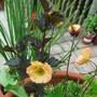 Geum 'tequila sunrise' & Physocarpus 'diablo'