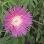 perrenial cornflower