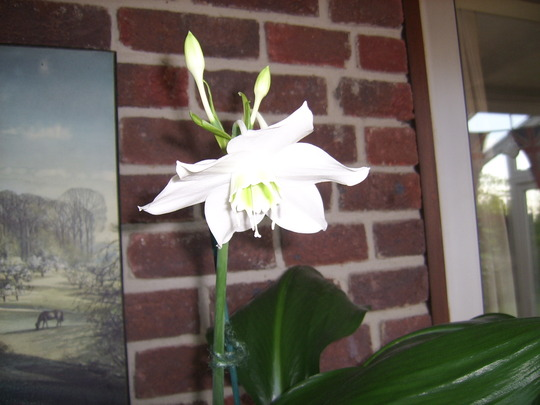 Eucharis grandiflora (Amazon Lily) (Eucharis grandiflora (Amazon Lily))
