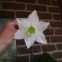 Eucharis grandiflora (Amazon Lily)