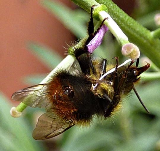 Bee's Bum