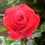 Rose_guojard