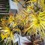 SCIADOPITYS verticillata 'Gold Star'