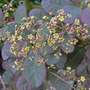 Cotinus - Smoke Bush