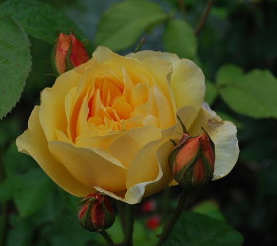 Rosa Graham Thomas.... (rosa)