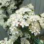 Pyracantha (Pyracantha angustifolia (Fire Thorn))