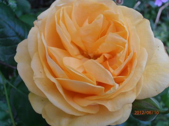 Absolutely Fabulous (Floribunda rose)
