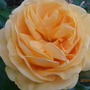Absolutely Fabulous (Floribunda rose)