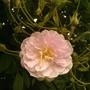 pauls himalian musk just starting to flower