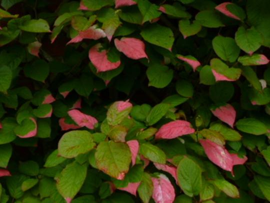 Actinidia   foliage