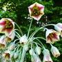 Allium_nectaroscordum