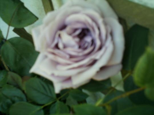 old camera pics 051 (blue moon rose)