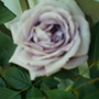 old camera pics 051 (blue moon rose)