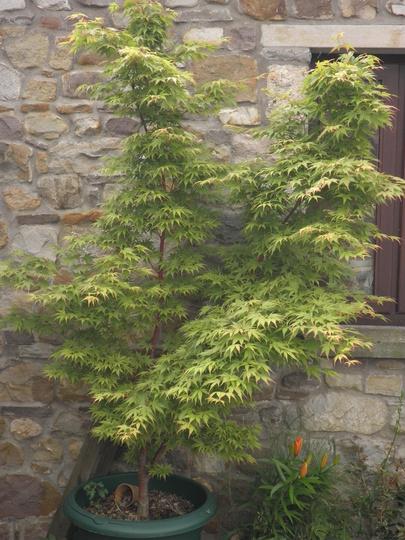 Acertastic looking serene  (Acer palmatum (Japanese maple))