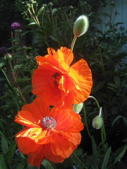 My dancing poppies (Papaver orientale (Oriental poppy))