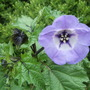 Nicandra physalodes (Nicandra physalodes)