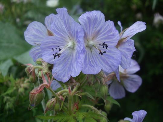 Geranium pratense 'Mrs Kendall-Clarke' (Geranium pratense (Meadow cranesbill))