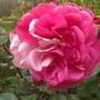 no name. but a large shrub rose