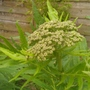 giant achilier.grows 7ft tall