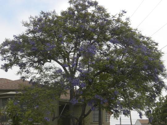 Jacaranda mimosifolia - Jacaranda Tree Flowering (Jacaranda mimosifolia - Jacaranda Tree Flowering)
