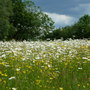 Wild_flower_field_3