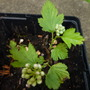 11.6.12_physocarpus_opulifolius_nugget_memo0024