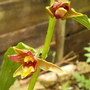 Epipactis orchid (Epipactis gigantea (Chatterbox))