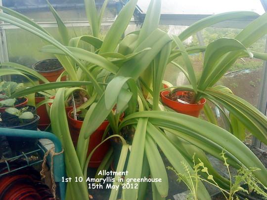 Allotment 1st 10 Amaryllis in greenhouse 15-05-2012 (Amaryllis)