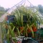 Allotment_amaryllis_behind_greenhouse_30_05_2012