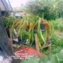 Allotment_amaryllis_beside_shed_30_05_2012