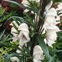 Aconitum napellus 'Gletschereis' (Aconitum napellus)