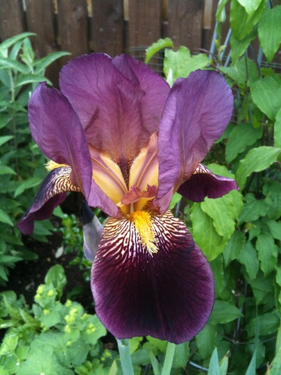 Unknown Beared Iris (Iris Germanica)